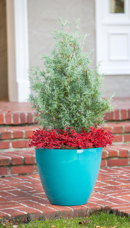 Carolina Sapphire Arizona Cypress Shop With Plantsbymail Com