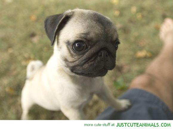 Pics For Gt Cute Baby Pugs Wallpaper Baby Pugs Cute Pugs Pugs