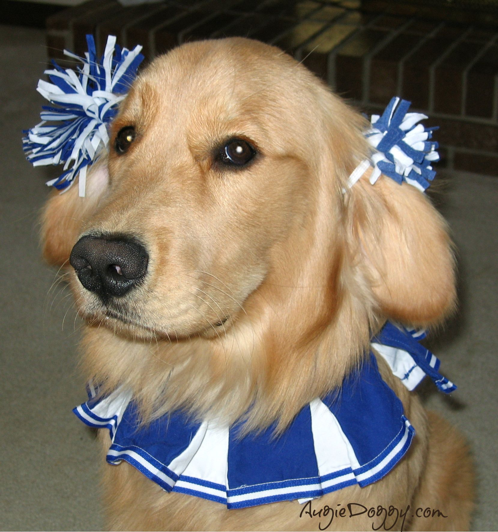 Golden Retriever Cheerleader HE Wasnt Thrilled Lol Golden