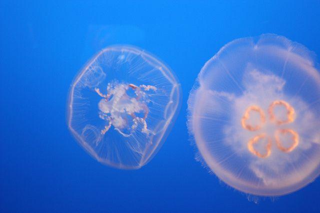 medusa luna