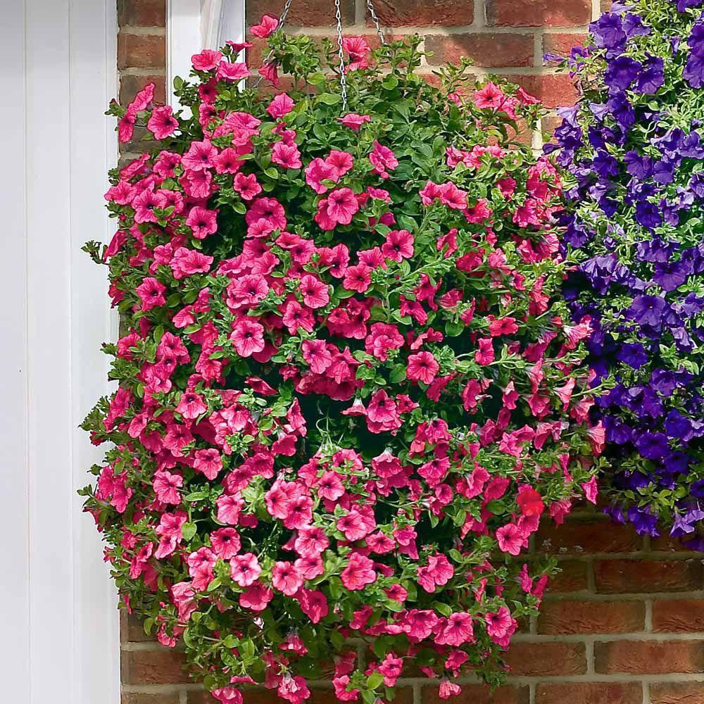Petunia 39 trailing surfinia hot pink 39 the no 1 trailing - Plantas colgantes de exterior ...