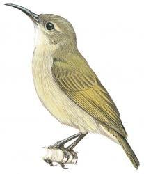 Bates' Sunbird (Cinnyris batesi)