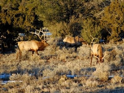 .These are some of your friendly visitors to the Grand Canyon home,