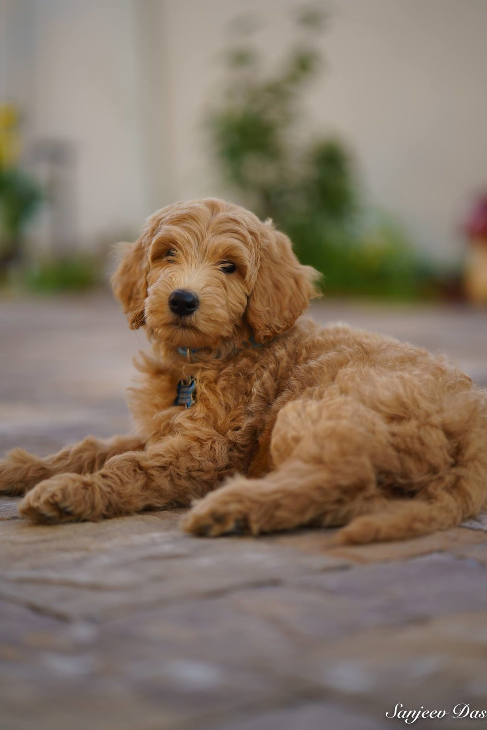 English Teddy Bear Goldendoodle Puppies in 2020