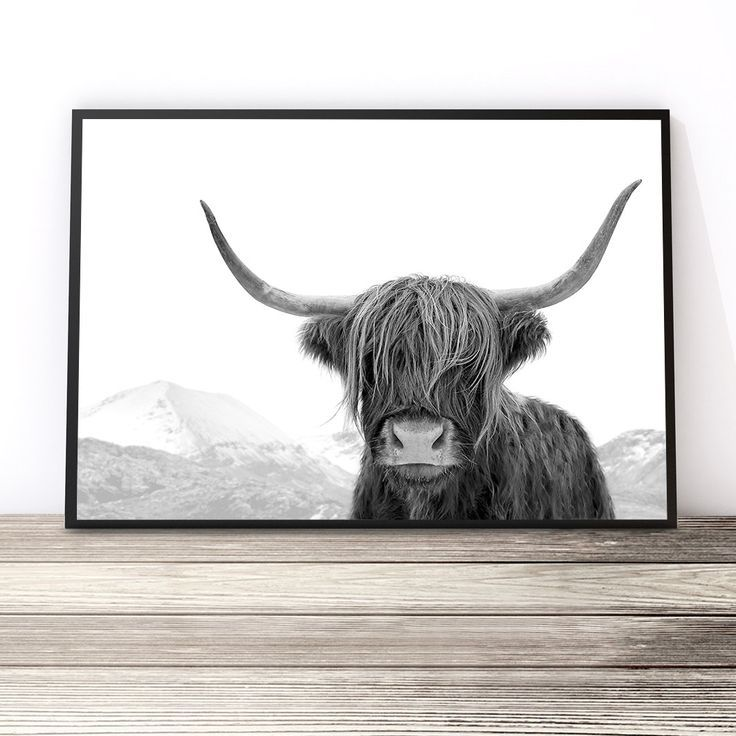 Black and white highland cow print australia highland cow art print cow photography print