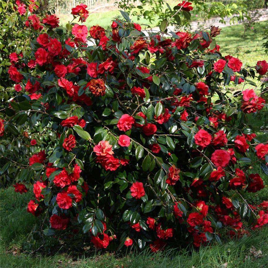 Camellia japonica 39 grand prix 39 ideally part shade full for Small flowering shrubs for full sun