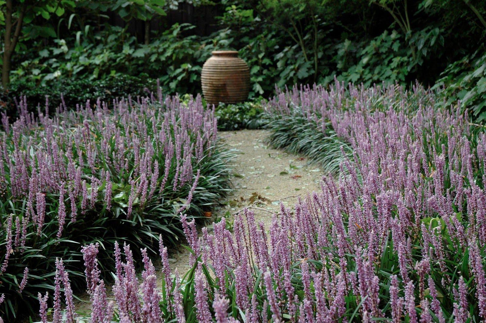 Liriope+gigantea+Lilyturf.JPG (1600×1064) | Plants I want ...