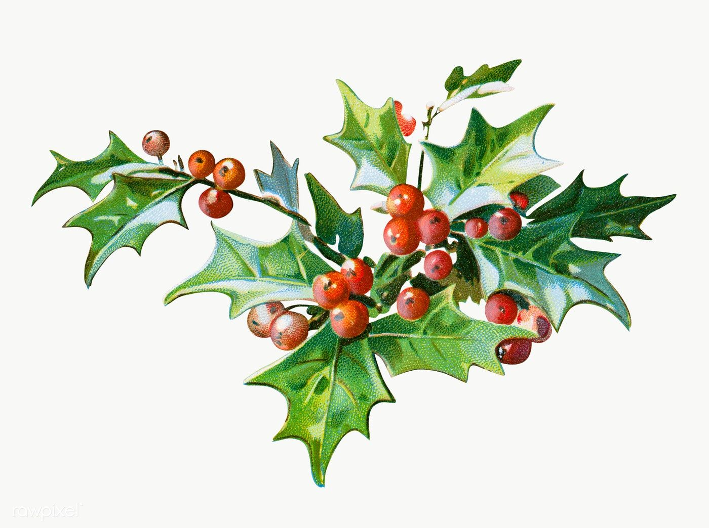 Download Premium Png Of Festive Holly Leaves Transparent Png 1232628 Holly Leaf Christmas Cards Free Free Christmas Greeting Cards