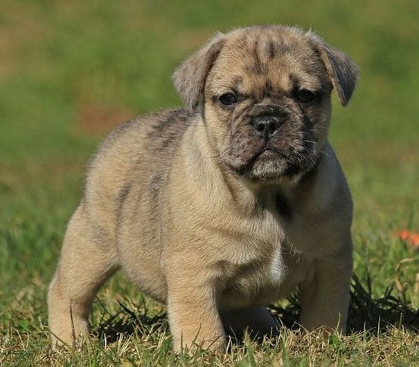 Pug And English Bulldog Combo Picture Dog Breeds Dog