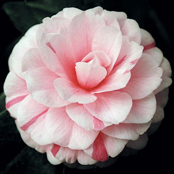 Camellia April Dawn Camellia Japonica Hybrid Colors Change From Dark Rose Pink Soft Shell Pink White Or Pink And Camellia Plant Camellia Hardy Hydrangea