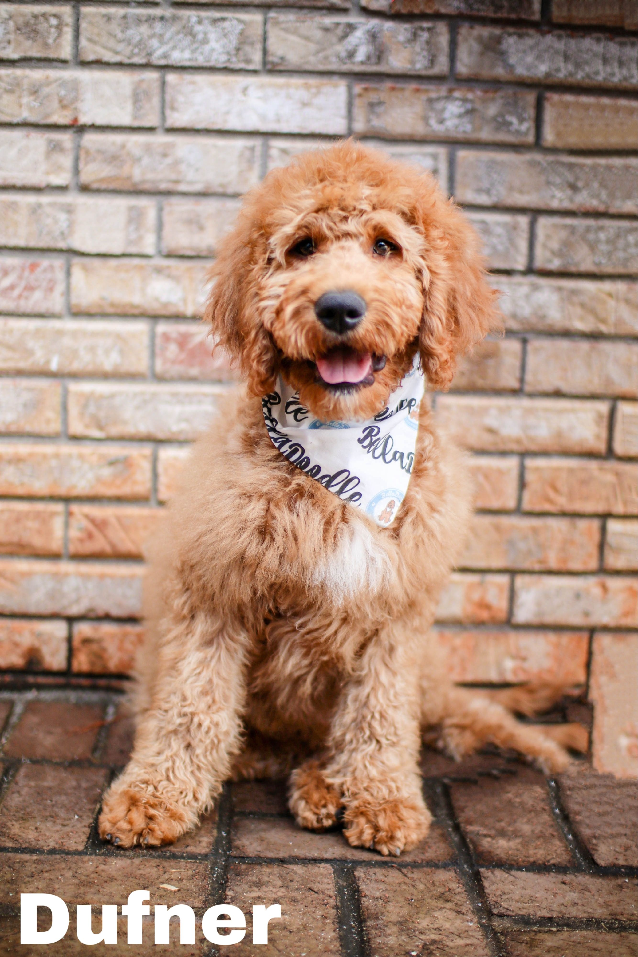 BellaDoodles Goldendoodles Goldendoodle, Mini