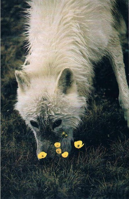 """White wolf with flower....The Lupine Flower is named after """"Lupus"""" the Latin word for wolf."""