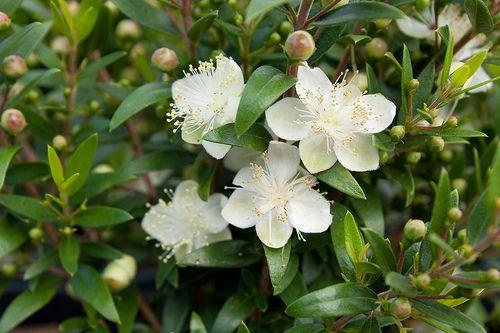 Myrtis Communis Compacta Flower Identification Myrtle Flower White Flowering Plants