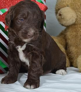 Goldendoodle Puppies for sale in Iowa, Illinois and Wisconsin | Mini