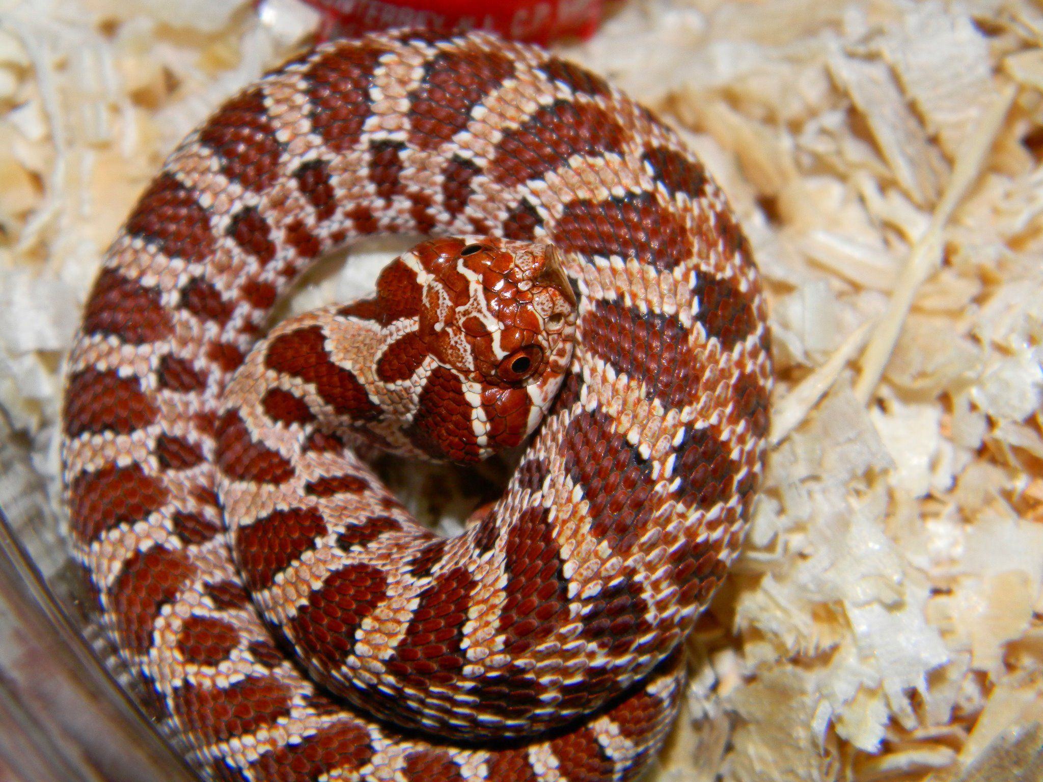 Purple Line Hognose Hognose Snake Cute Reptiles Western Hognose Snake