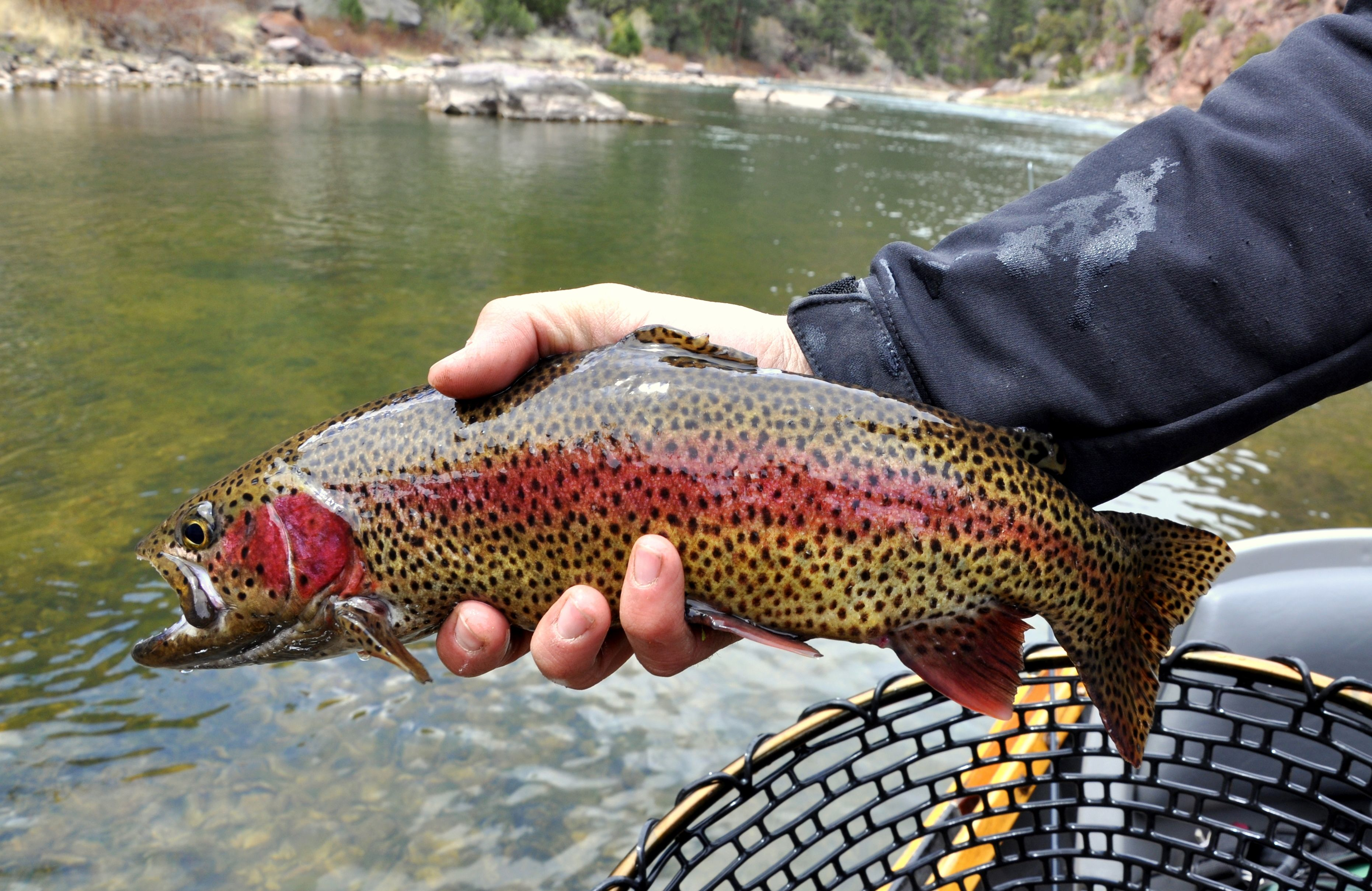 Utah 39 s fly fishing sport fish utah fly fishing club for Trout fishing utah
