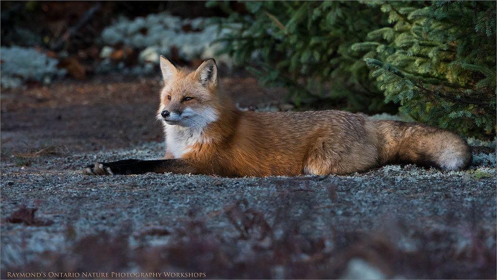 Fox   by Raymond J Barlow