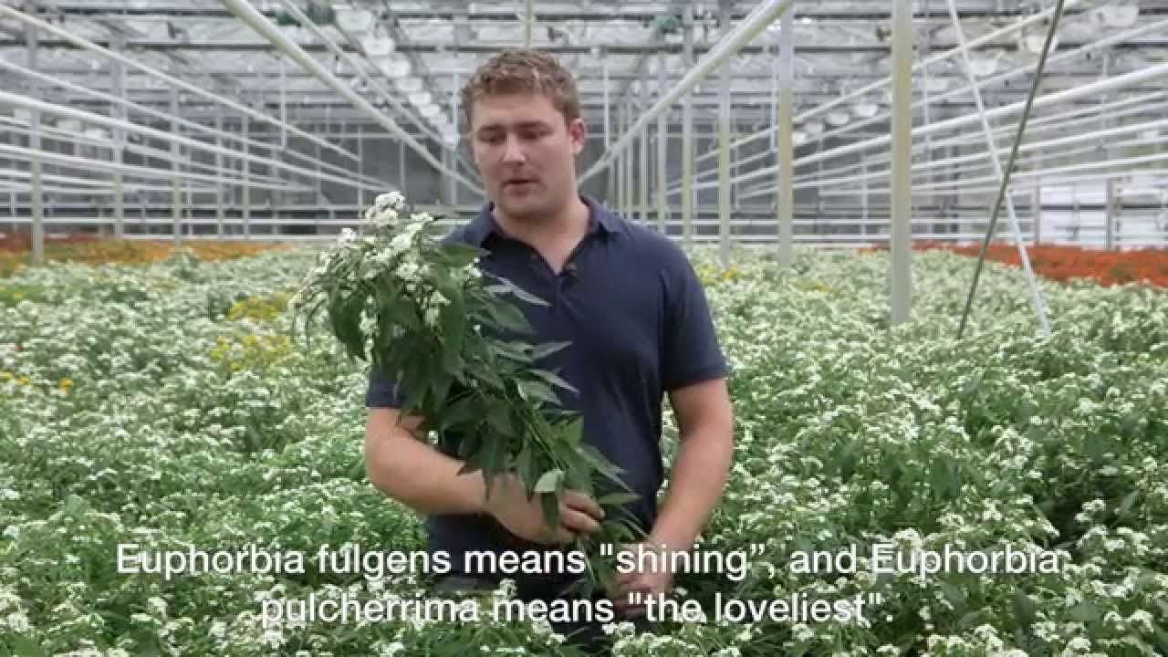 Visit a grower of Euphorbia fulgens... Only one click away. Take a minite and listen what grower Pieter Beerpoot has to say.