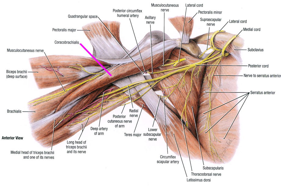 axilla | Learn | Pinterest | Anatomy
