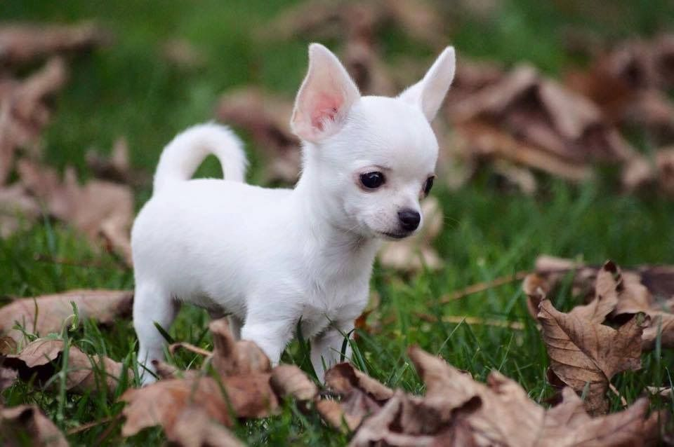 White Chihuahua So The Cutest Thing I Have Ever Seen