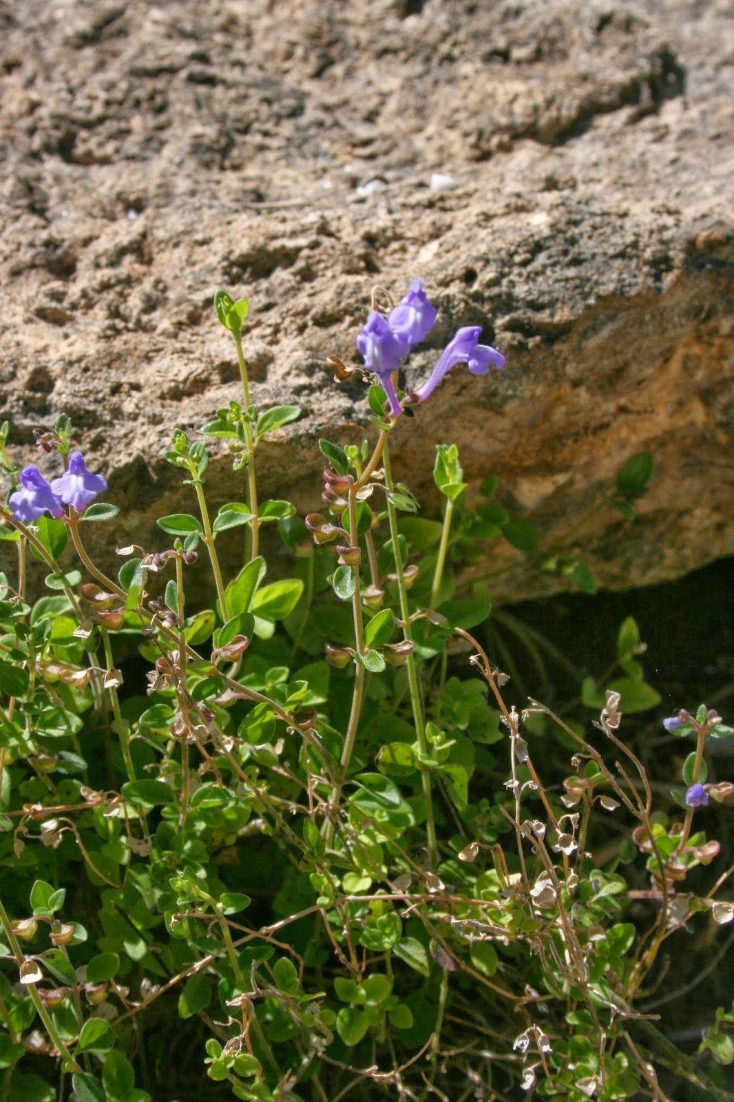 Havana Skullcap Scutellaria havanensis....Blooming can