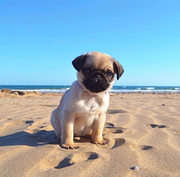 Adorable Pug On The Beach Puppy Dog Pictures Puppies Happy Dogs