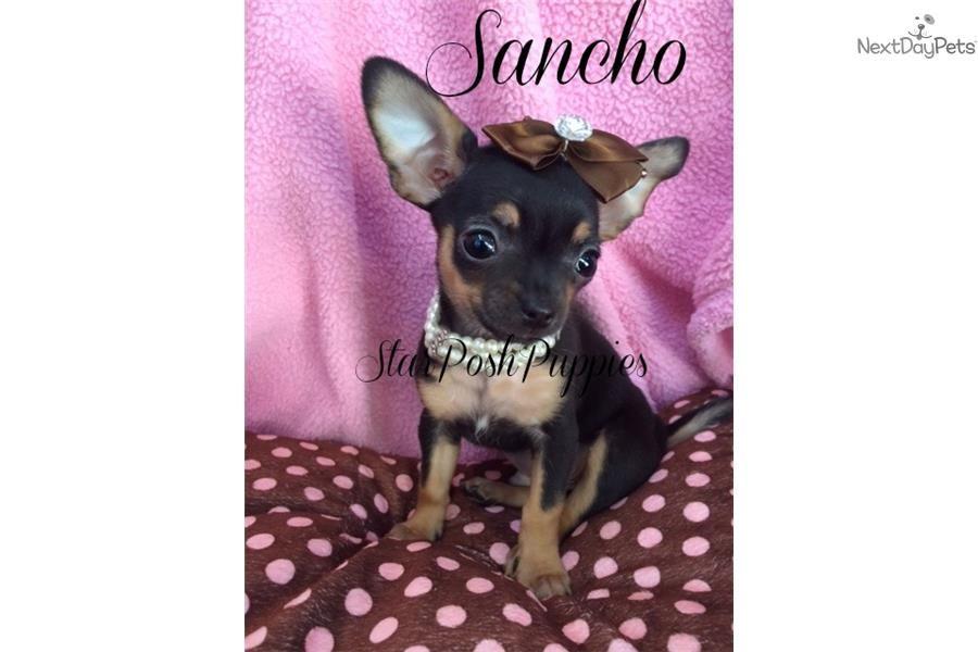 Teacup Applehead Sancho Chihuahua Puppy For Sale Near Phoenix