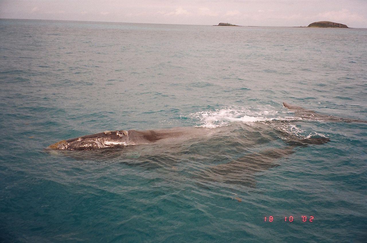 * Baleias franca-austral * Arquipélago de Abrolhos, Brasil.