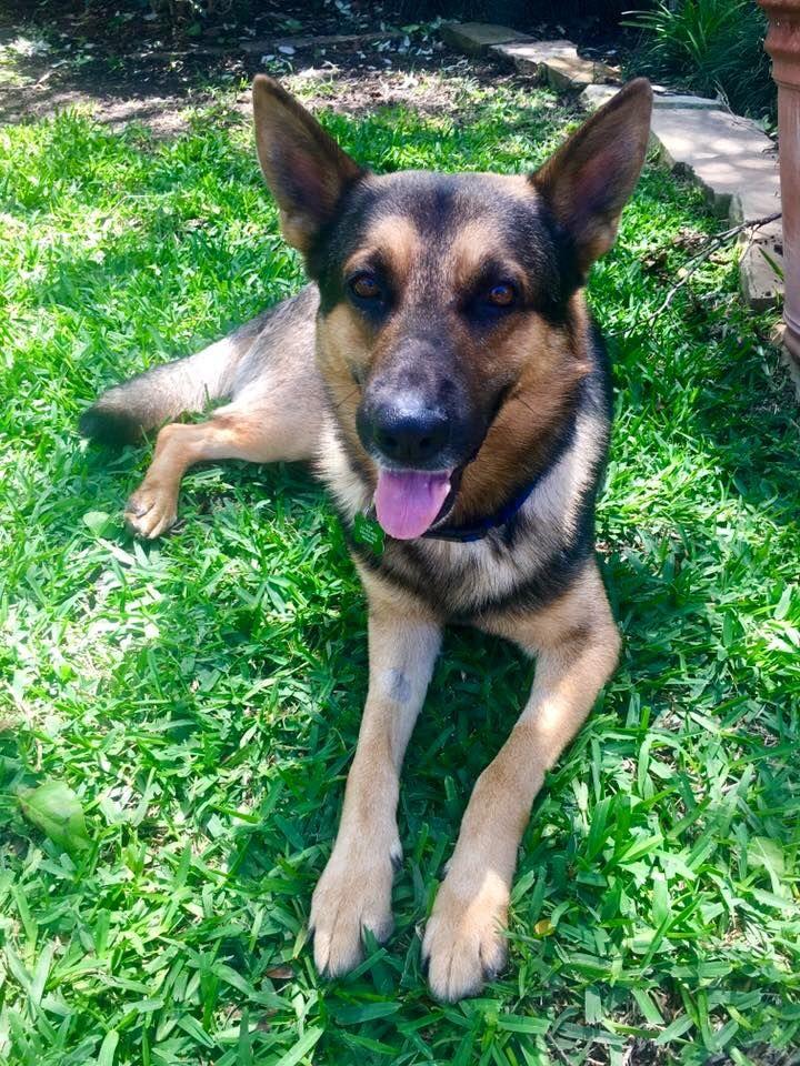 German Shepherd Dog dog for Adoption in Flower Mound, TX