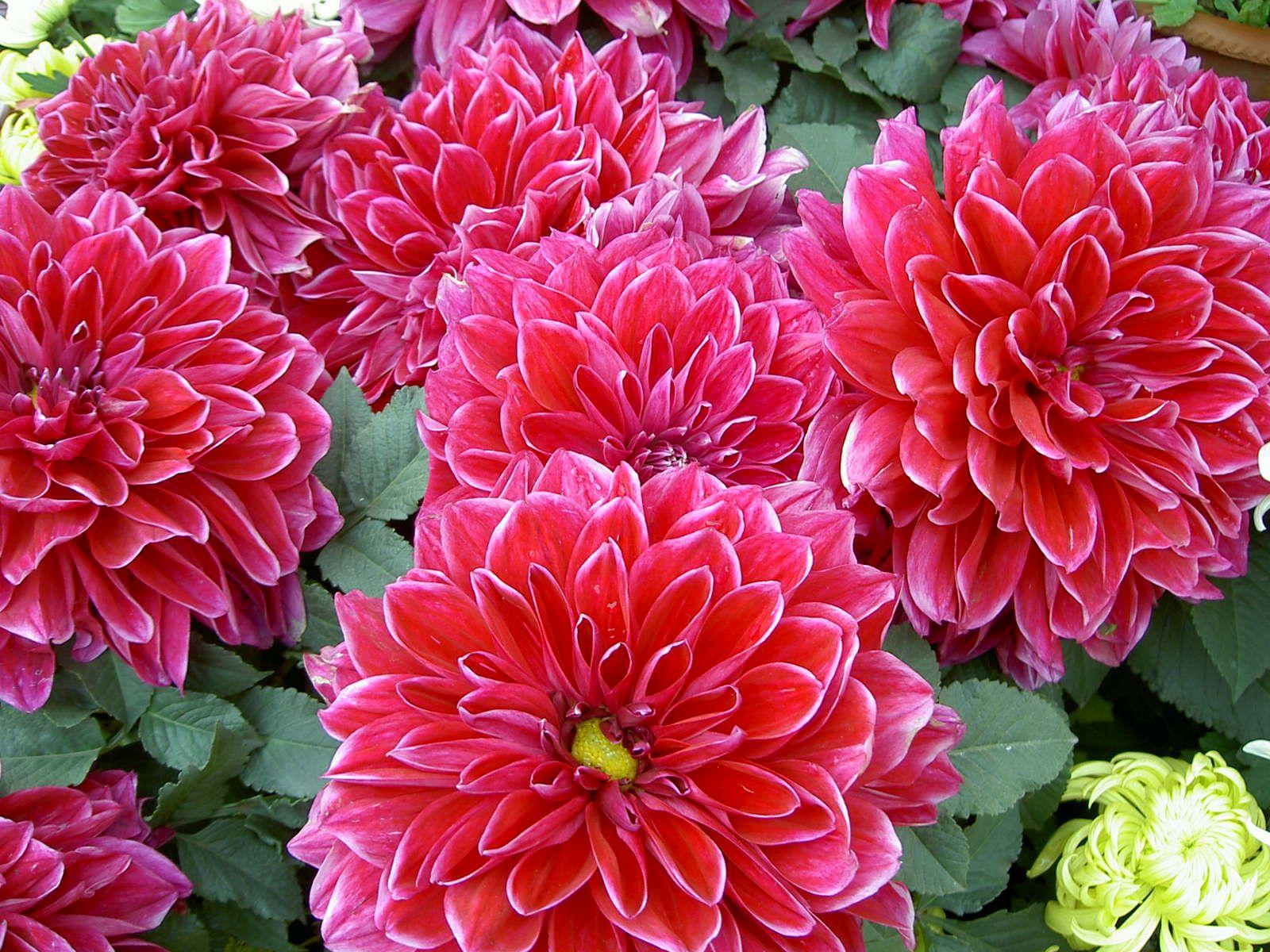 Chrysanthemum chrysanthemum red chrysanthemum red