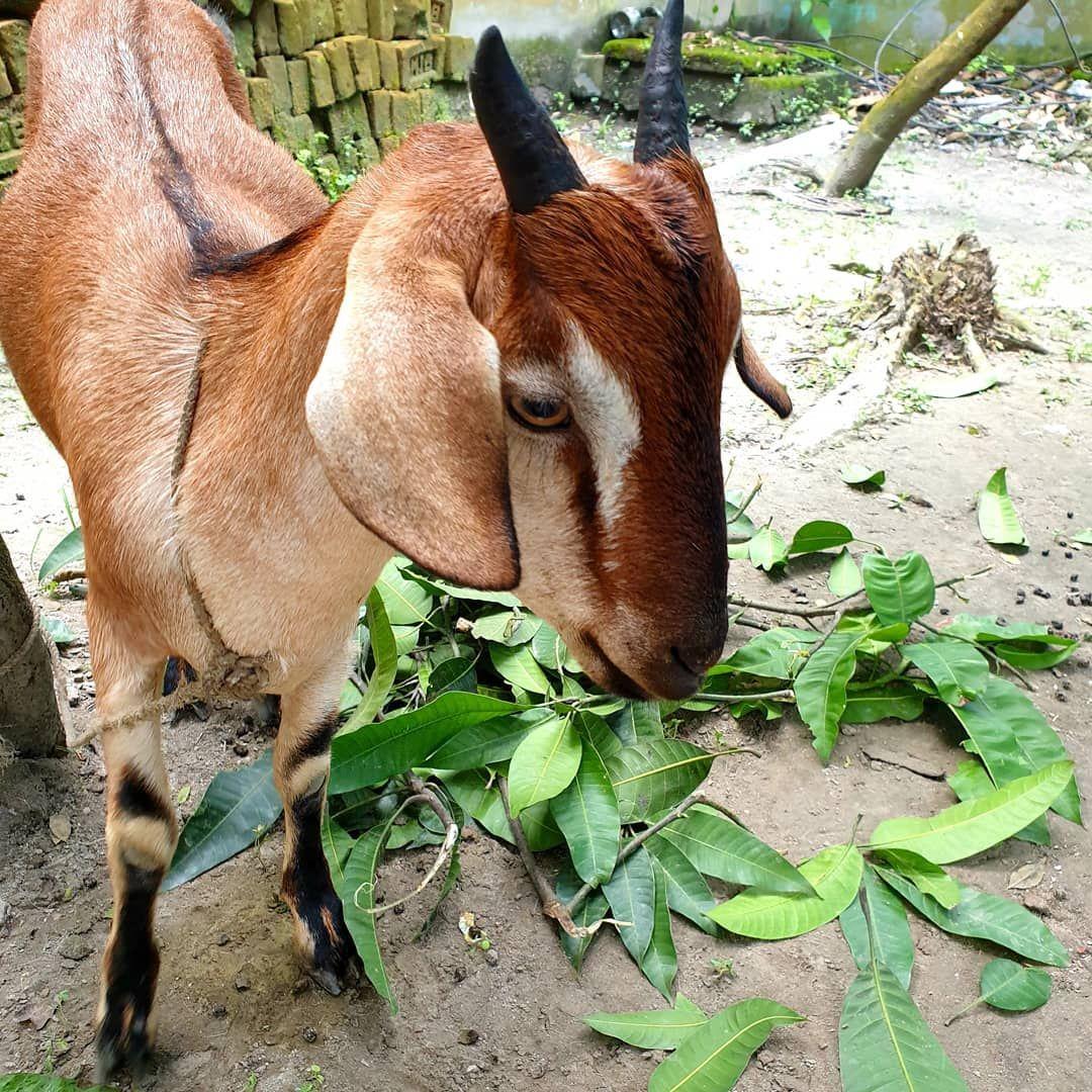 This Beautiful Goat Is Our Eid Ul Adha Goat Eid Mubarak Ya Ll Stickyginger Banglovedesh Bangladesh Blogger Bestfriends Dubai Fashion Fblogger Grazia
