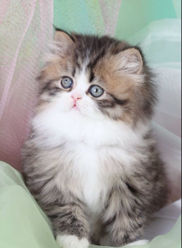 Golden & White Bicolor Persian Kittens Teacup persian