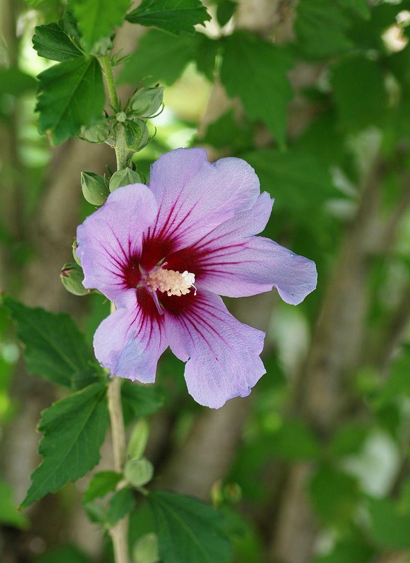 Hibiscus Syriacus Violet Korean Rose of Sharon Syrian