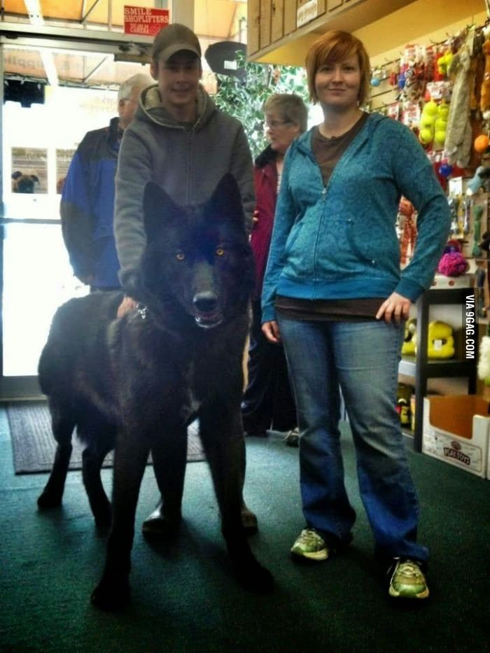 A Black Wolf Hybrid I Would Definitely Ride This Into