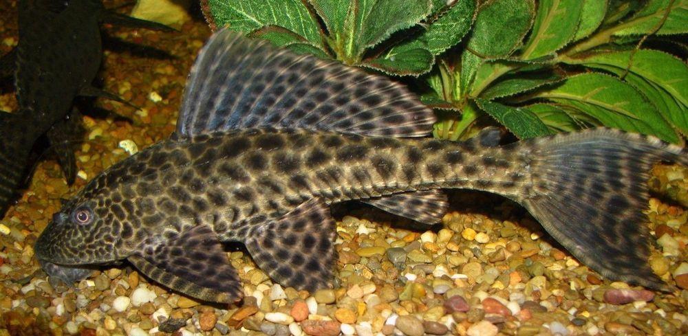 Family Of 3 Florida Plecostomus 4 Inch Live Aquarium Fish