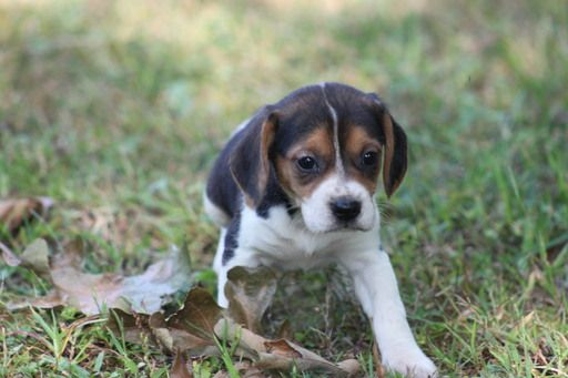 Litter Of 6 Beagle Puppies For Sale In Ava Mo Adn 44460 On