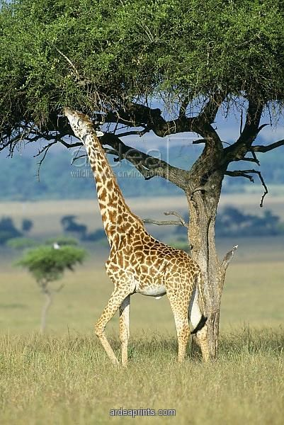 Giraffe being eaten