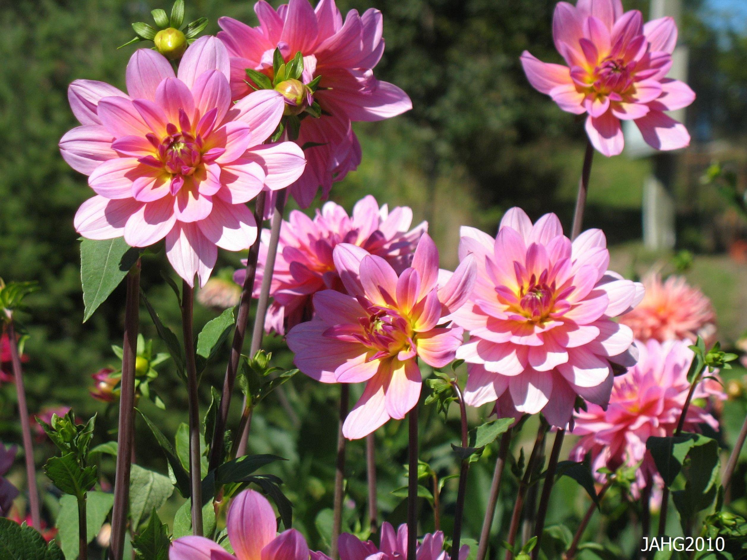 Five Brilliant Ways To Advertise Dahlia Flower Name In Sanskrit In 2020 Dahlia Flower Orange Flower Names Flower Names