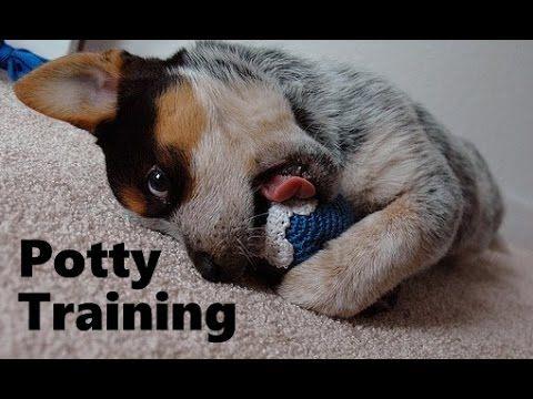 How To Potty Train A Blue Heeler Puppy Housebreaking Australian