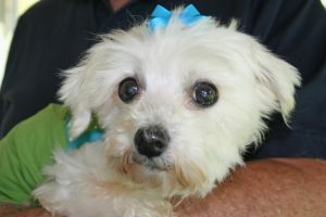 Adopt Lollipop Adopted On Rescue Puppies Pet O Maltese Dogs