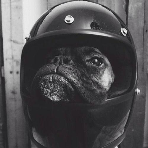 French Bulldog in a Moto Helmet.