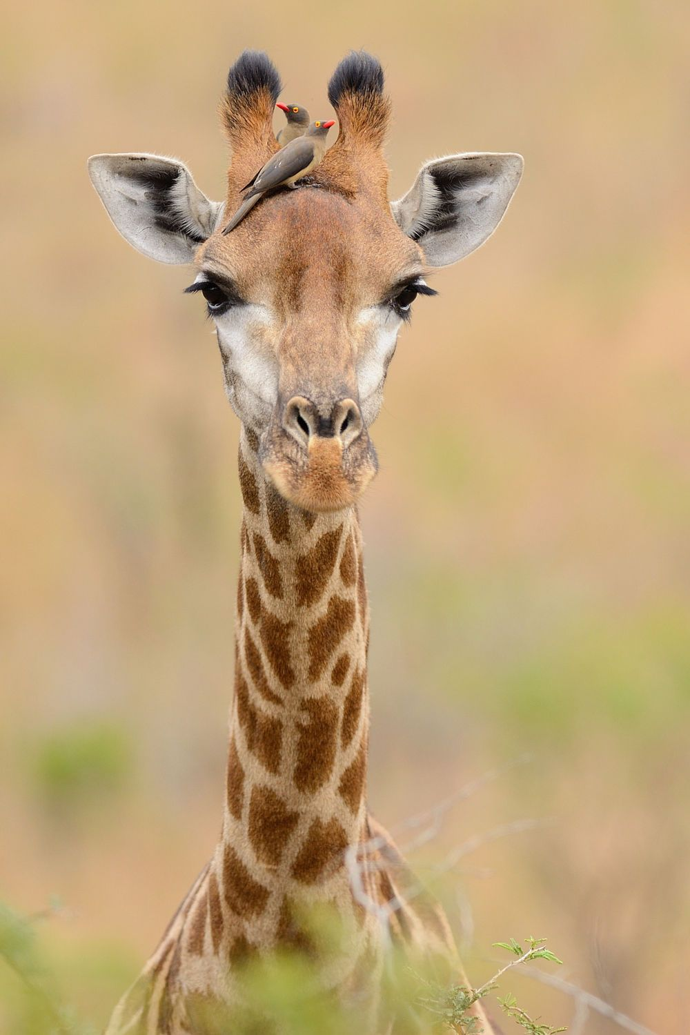 Giraffe by Elmar Weiss on 500px - Giraffe with Red-billed Oxpeckers, Hluhluwe Imfolozi Game Reserve, Kwa Zulu Natal, South Africa