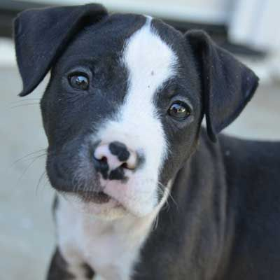 Tahoe Is An Adorable Two Month Old Terrier Puppy Up For Adoption