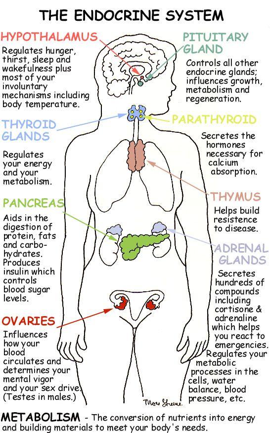 Anatomy and Physiology: Endocrine System   Nursing Crib   Nursing ...