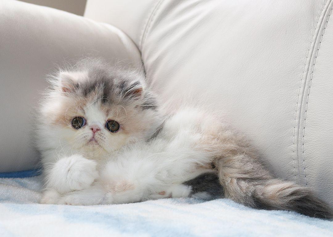 Alfenloch Persian Kittens Ontario Canada Persian Kittens Himalayan Persian Cats Himalayan Kitten