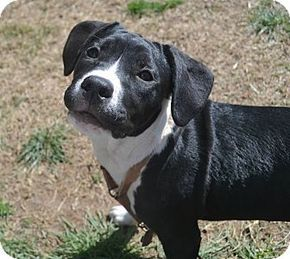 Pin By Shirley Moore On Need Adopted Love 3 Pitbull Terrier