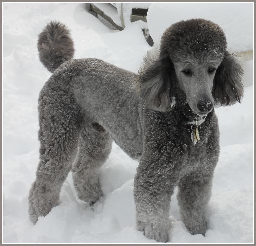 Standard Poodles Standard Poodle Puppies Litters Virginia