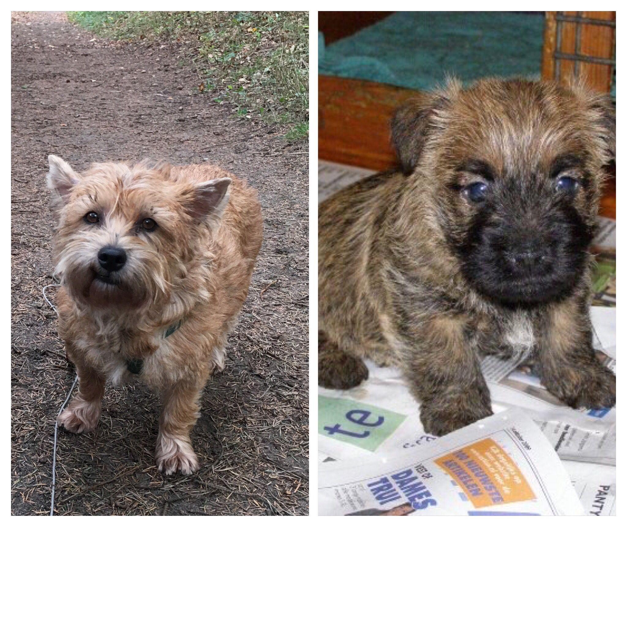 Arie 6 Years And As Puppy Cairn Terrier Puppies Terrier