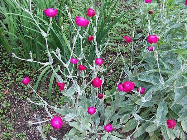 Cuidados del clavel lanudo plantas y for Plantas ornamentales clavel
