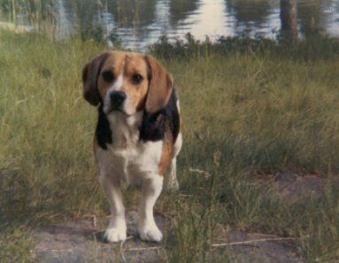 This is my own beagle Bobbie, he has been dead for many years, but he's the reason I love beagles so much.